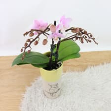 Parrot Orchid - Standard