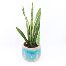 Striking Sansevieria - Standard