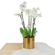 Golden Child Orchid Trio - Standard