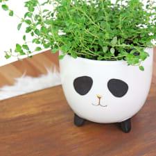 Panda Thyme - Standard