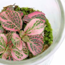 Purely Pink Terrarium - Standard