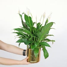 Golden Peace Lily - Standard