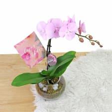 Birthday Orchids - Standard