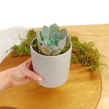 Solo Succulent - Standard