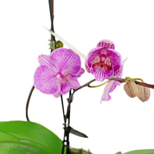 Tall & Small Orchids - Pink - Standard