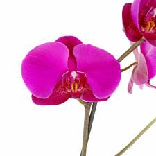 Pot O' Gold Orchids - Standard