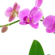 Slender Orchid - Standard