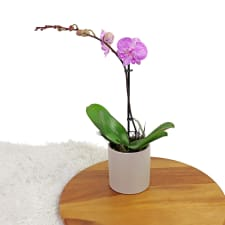 Simplicity Orchid - Pink - Standard