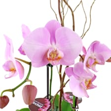 Polished Orchids - Pink - Standard