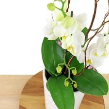 Polished Orchids - White - Standard