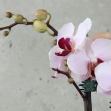 Orchid Lush - Standard
