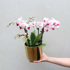 Gilded Phalaenopsis - Pink - Standard