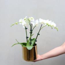 Gilded Phalaenopsis - White - Standard