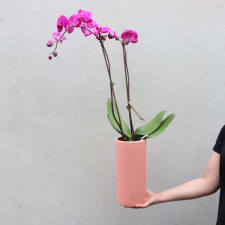 High Drama Orchid - Coral - Standard