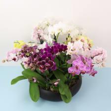 Abounding Orchid Garden - Standard