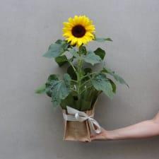 Potted Sunflower Splendour - Standard