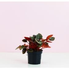 Peperomia Marmorata - Standard