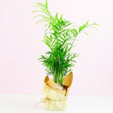 Parlour Palm - Standard