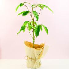Umbrella Tree - Standard