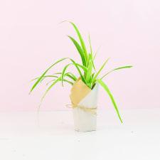 Spider Plant - Standard