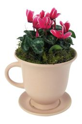Mini Cyclamen - Cute Tea cup