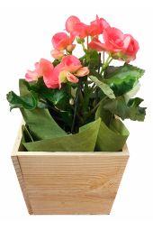 Bloomin' Begonia