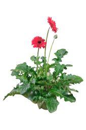 Glorious Gerbera Plant- Large