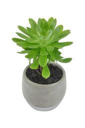Amazing Aeonium Succulent