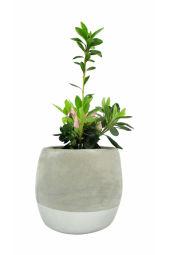 Amazing Azalea Plant