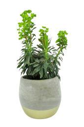 Excellence Euphorbia