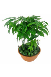 Magic Bean Potted Plant