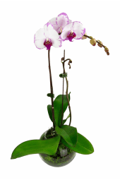 Living Phalaenopsis Orchid