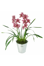Potted Cymbidium Orchid
