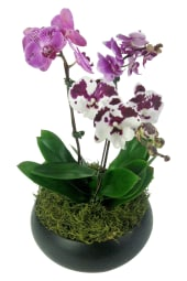 Exotique Orchid Planter