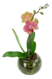 Orange/Peach Orchid