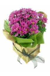 Hot Pink Chrysanthemum