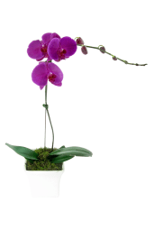 Large Purple Phalaenopsis
