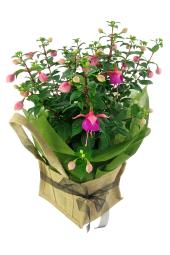 Fabulous Fuschia Plant