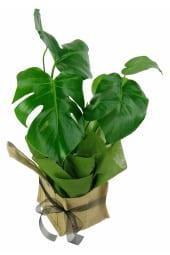 Magnificent Monstera Plant