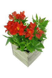 Amazing Alstroemeria Plant