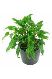 Fantastic Philodendron