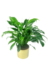 Placid Peace Lily