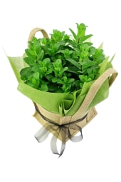 Perfect Pick Mint Plant