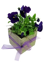 Rustic Potted Pansy