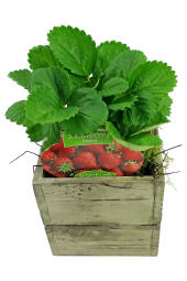 Potted Strawberry