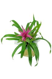 Popcolour Bromeliad.