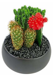 Cacti in Ceramic Pot