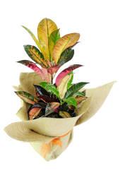 Colourful Croton Plant