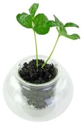 Buzz Worthy Coffee Plant