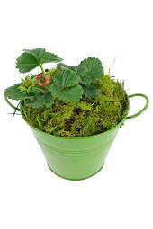Berrylicious Strawberry Plant